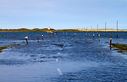 Causeway to Holy Island, Northumberland, at high tide. Eider ducks swim across the flooded road leading to the island.  The popular tourist destination is only accessible twice a day during periods of low tide.