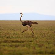 Ostridge, Common Ostridge, female, Massajstruts, Struthio camelus, Struthio camelus massaicus, Serengeti, Tanzania, Africa