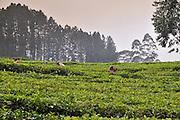 Pussellawa, Kandy District, Sri Lanka. The Rothschild Tea Estate