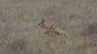 Cheetah takes down a reed buck, Central Serengeti