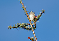 White-crowned Sparrow (Zonotrichia albicollis) in top of pine tree   Photo: Peter Llewellyn
