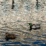 Ducks navigating reflections. Milan, Italy.