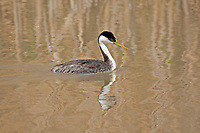 A Western Grebe swims in a small pond in northern Utah.