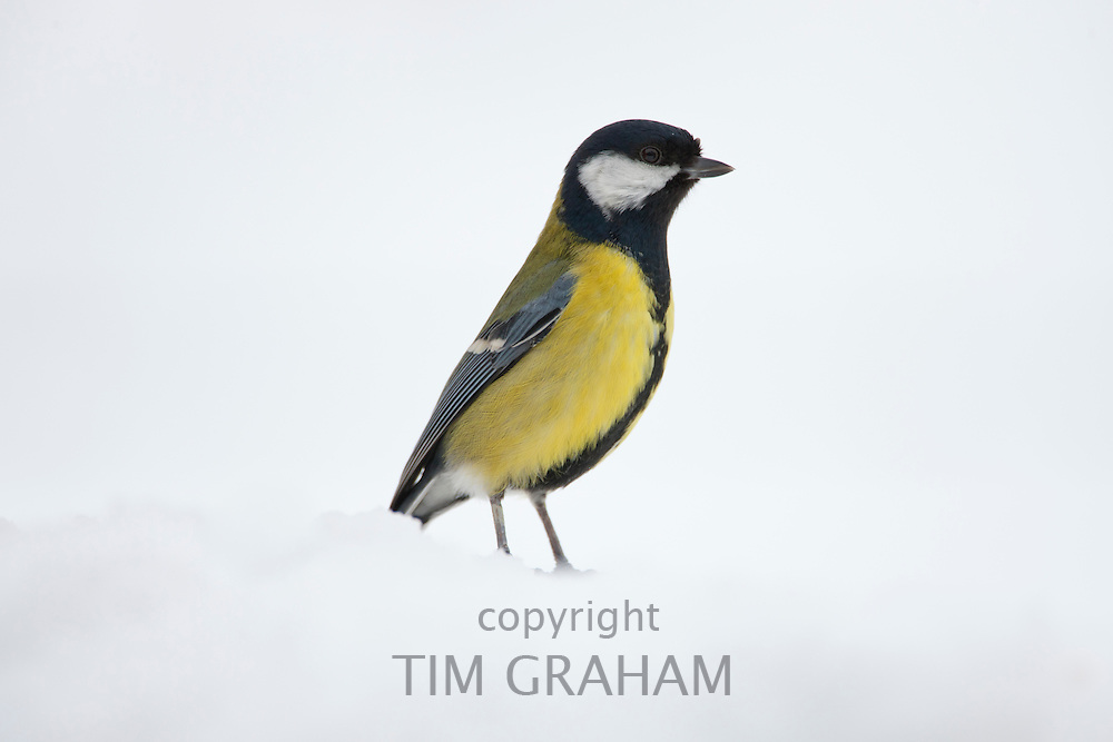 Great Tit on a snowy slope, The Cotswolds, UK