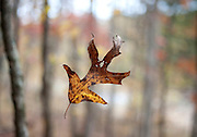 A falling leaf is suspended in the air in the woods at Devil's Den State Park in Winslow, Ark.