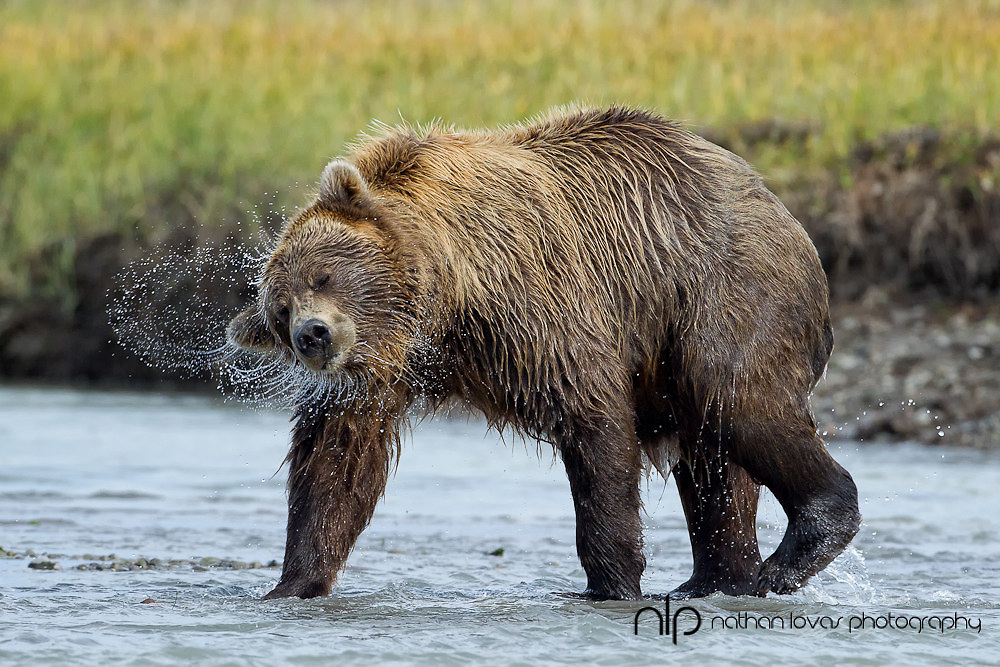 Brown bear shaking off water;  Lake Clark NP, AK in wild.