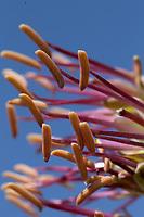 Lechuguilla (agave lechugilla), Val Verde County, Texas
