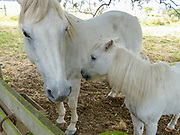 White mare with white foal
