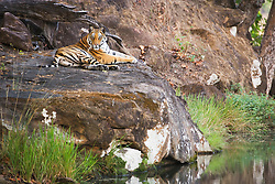 A Bengal tiger (Panthera tigris tigris) laying on a rock by a water hole in the shade on a hot summer afternoon, Bandhavgarh,Madhya Pradesh,India