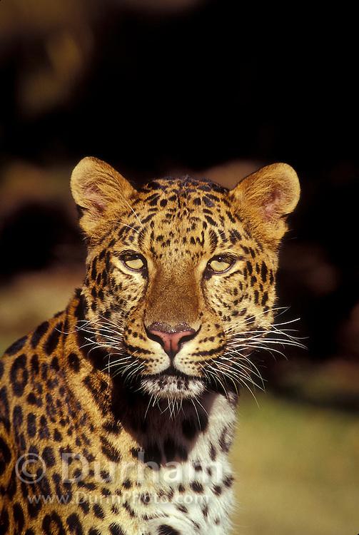 Amur leopard (Panthera pardus orientalis) .