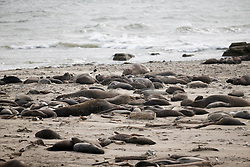 Elephant seals on the beaches of Ano Nuevo State Park in Pescadero, Calif., Friday, March 3, 2017, where the breeding season for Earth's largest pinnipeds is winding down. (Photo by D. Ross Cameron)