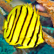 Eight Banded Butterflyfish inhabit reefs. Picture taken Alor, Indonesia.