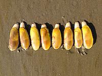 Razor clams. Seaside, OR