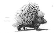 Common Porcupine from General zoology, or, Systematic natural history Vol 2 Mammalia, by Shaw, George, 1751-1813; Stephens, James Francis, 1792-1853; Heath, Charles, 1785-1848, engraver; Griffith, Mrs., engraver; Chappelow. Copperplate Printed in London in 1801 by G. Kearsley