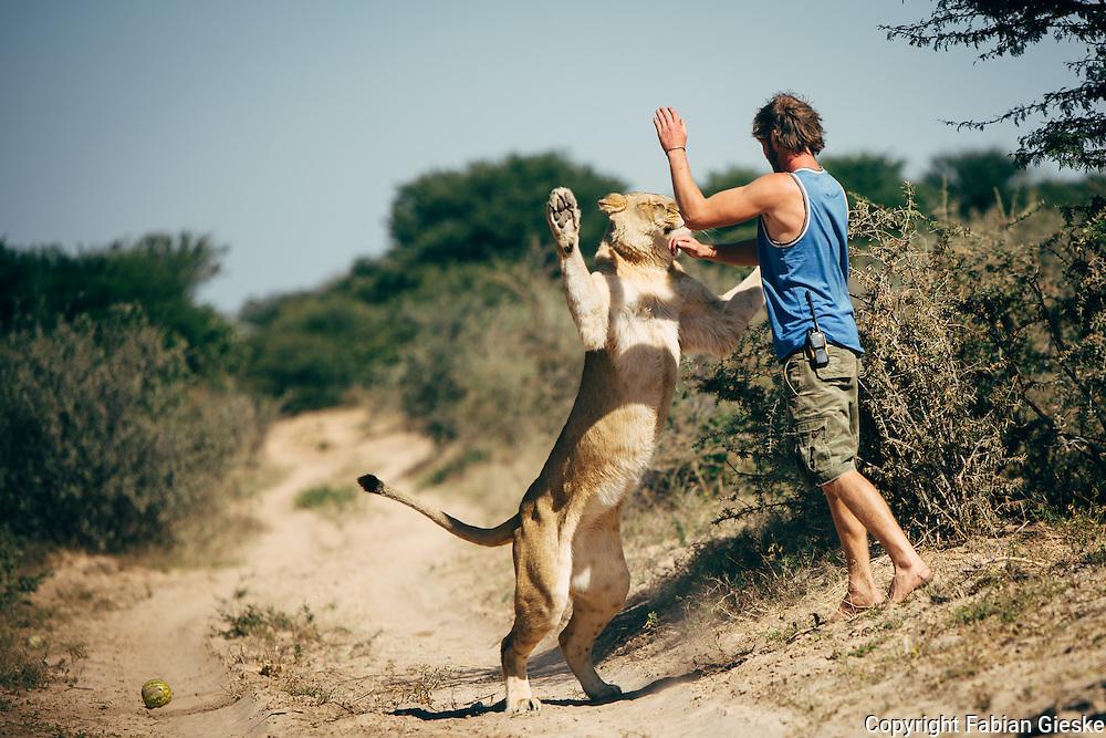 Valentin Gruener, Sirga, lioness, hand raised, kalahari, Botswana, Private Game Reserve, playing