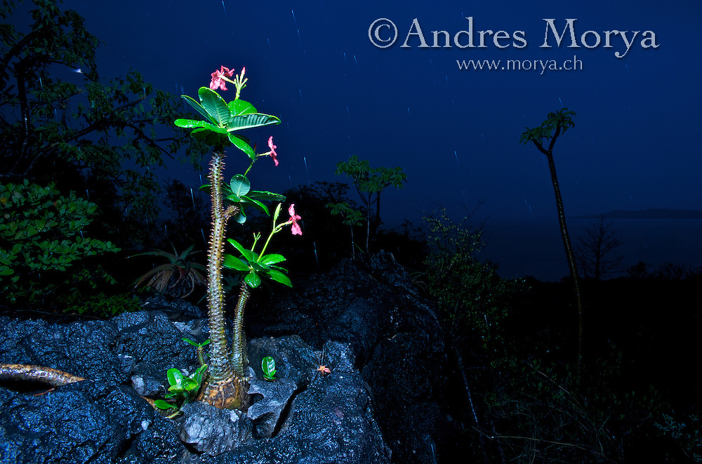 Euphorbia eugenia , scenery , Diago Suarez , Madagascar Image by Andres Morya