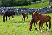 Irish horses and foal, County Galway, Ireland