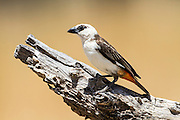 White-Headed Buffalo Weaver (Dinemellia dinemelli). Photographed in Tanzania
