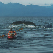Duncan Murrell kayaking with humpback whales in his Nautiraid folding kayak, Point Hayes, Chatham Strait, Southeast Alaska, USA. Photo courtesy of Francois Gohier.<br /> <br /> This was another photo taken by Francois Gohier when he was also photographing the bubble net feeding whales around the Morris Reef. After I won the Mammal Category of the BBC Wildlife Photographer of the Year Competition in 2002 I was commissioned to write an article for the BBC Wildlife Magazine and this photo was used on the cover of the magazine, which was indeed an honour for me as I have been reading the magazine since I was a young boy.