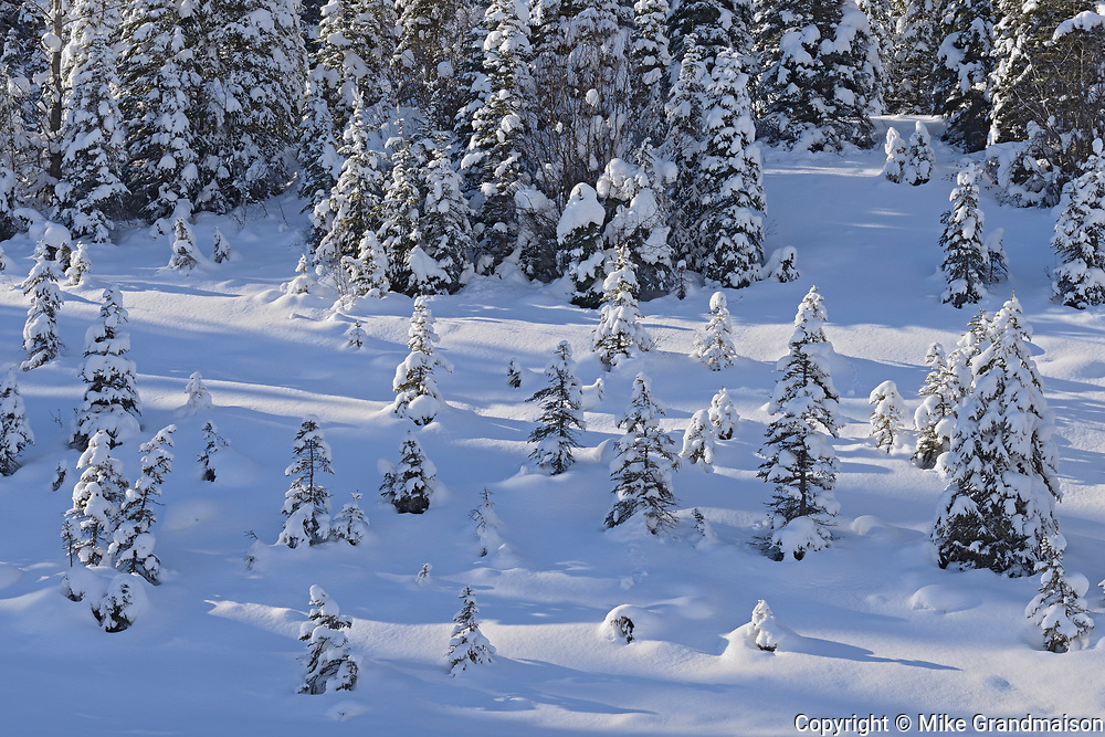 Small coniferous trees in snow, Kootenay National Park, British Columbia, Canada