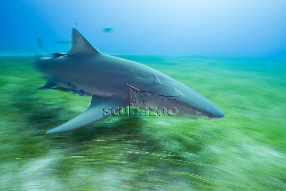 Lemon shark, Negaprion brevirostris, swimming over seagrass, Bahamas