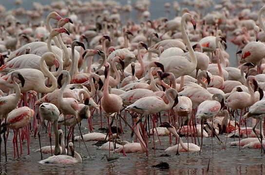 Lesser and Greater Flamingos at Lake Nakuru National Park. Kenya. Africa.