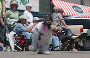 Even the dogs get into the act in the Memorial Weekend Grand Parade in Mackinaw City, Michigan.