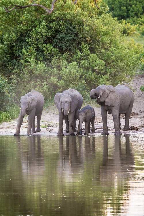 A family of African bush elephants (Loxodonta africana) use their long trunks to take a drink from the Chobe River. Chobe National Park - Botswana