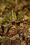 Carniverous Katydid<br /> (Tettigoniidae)<br /> Rewa River<br /> Rainforest<br /> GUYANA. South America<br /> Lives in tree hole