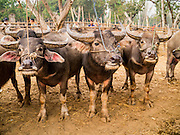 06 APRIL 2013 - SANPATONG, CHIANG MAI, THAILAND:     Water buffalo for sale at the market in Sanpatong, Chiang Mai province, Thailand. The buffalo market in Sanpatong (also spelled San Patong) started as a weekly gathering of farmers and traders buying and selling water buffalo, the iconic beast of burden in Southeast Asia, more than 60 years ago and has grown into one of the largest weekend markets in northern Thailand. Buffalo and cattle are still a main focus of the market, but traders also buy and sell fighting cocks, food, clothes, home brew and patent medicines.           PHOTO BY JACK KURTZ