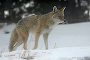 Coyote<br /> Allenspark, Colorado<br /> <br /> According to many Native Americans, the world in which man lives is a dream of coyote. When coyote awakens, man will be gone.<br /> <br /> Edition of 500