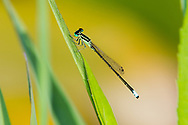Eastern Forktail (Ischnura vertialis) - male<br /> VIRGINIA: Rockingham Co. <br /> Lake Shenandoah in Ashby<br /> 29-June-2015<br /> J.C. Abbott #2758 &amp; K.K. Abbott