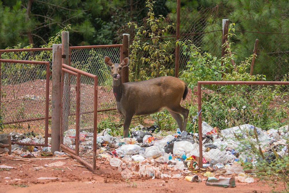 The sambar (Rusa unicolor) is quite common in Thailand and quickly become tolerant of humans, seeking out protection and food.