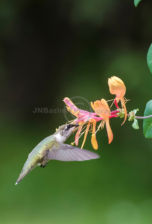 Female Hummingbird feeds on Honeysuckle flower
