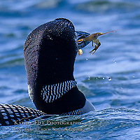 Loon with crayfish in mouth.