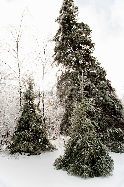 Three evergreens bear the heavy burden of ice covered branches after a winter storm.