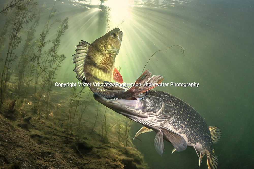 Northern Pike (eating a yellow perch)<br />