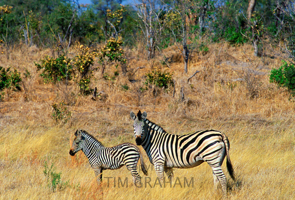 Burchell's Zebra and foal in Northern Botswana, Africa