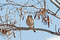 A female American kestrel perched above a small stream watching the ground for insects and mice.