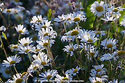 Chamomile daisy flowers in a wild flower urban meadow by Pictoral Meadows Ltd, Manor Lodge, Sheffield, UK