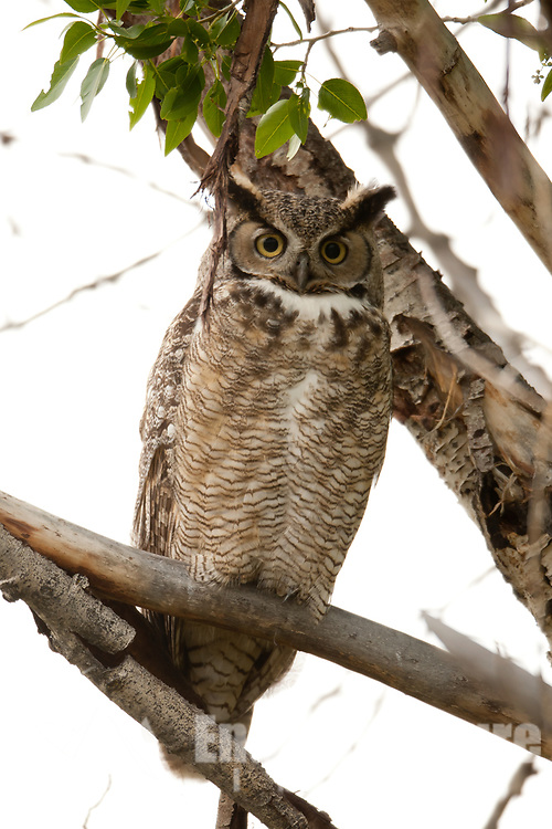 A Great Horned Owl sits in a tree across from its nest taking a break from the three owlets in the nest.