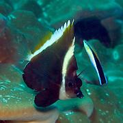 Humphead Bannerfish inhabit reefs. Picture taken Milne Bay, PNG.