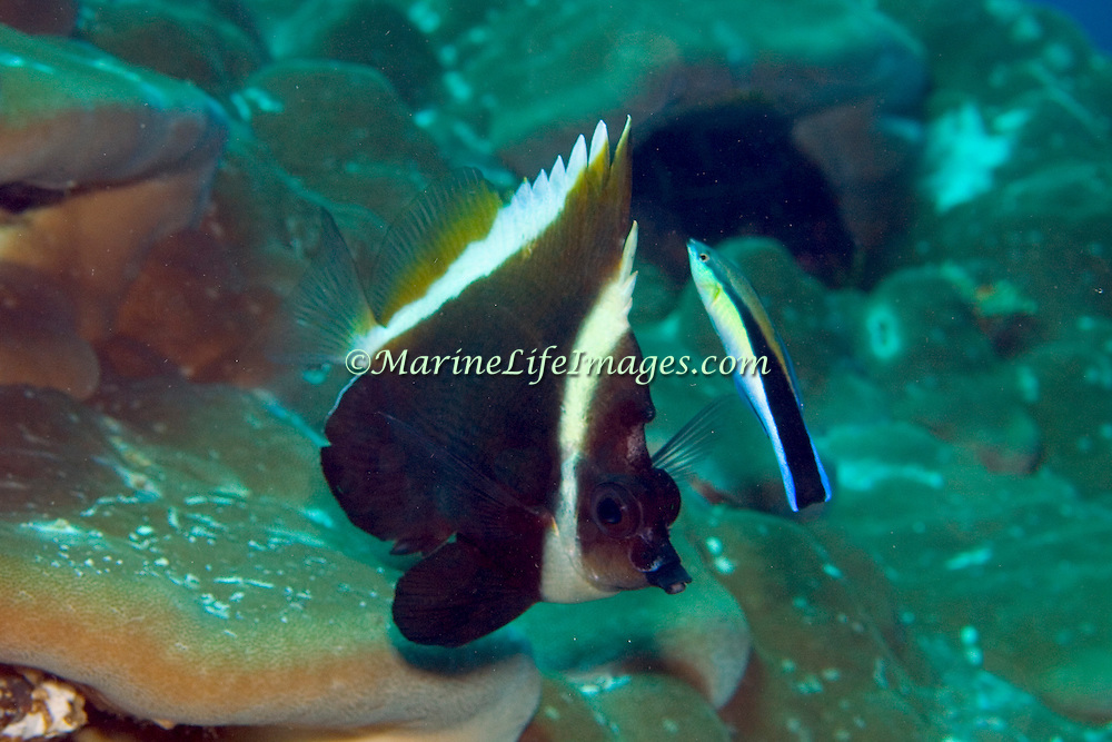 Humphead Bannerfish inhabit reefs. Picture taken Milne Bay, PNG.