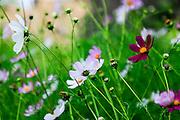 Mauve wildflowers. Photographed in Armenia