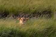 The Lions of Serengeti