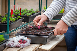 Planting onion sets in modular plastic seed trays with individual cells in a greenhouse