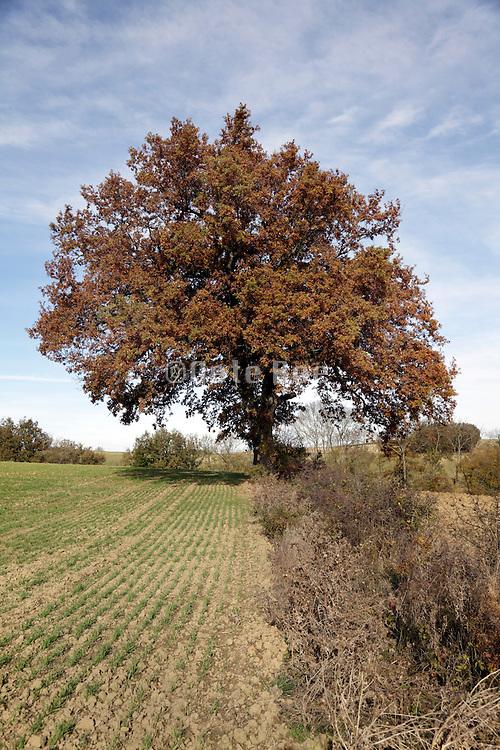 big oak tree during autumn season France Languedoc