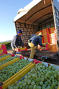 Israel, Negev, Lachish Region, Vineyard, Loading boxes of picked grapes for transportation to market