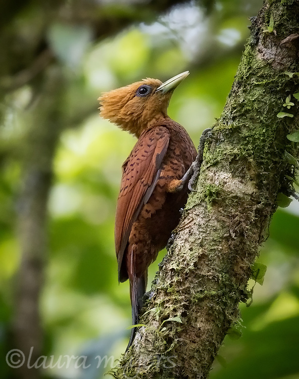 Chestnut-colored Woodpecker Female on tree.