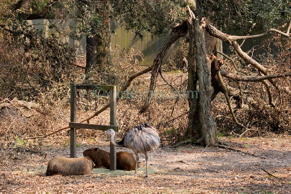 03 September 2005. New Orleans, Louisiana.  Post Hurricane Katrina.<br /> An emu and fellow zoo animals amidst the broken tree limbs at the zoo.<br /> Photo Credit &copy;: Charlie Varley/varleypix.com